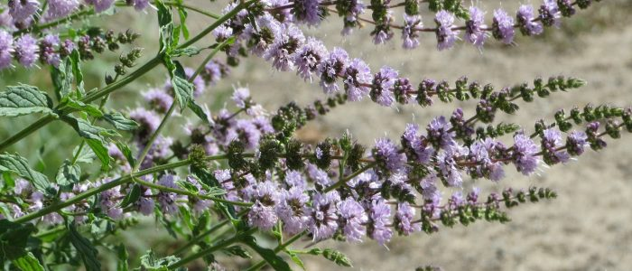 Spearmint Holistic Benefits