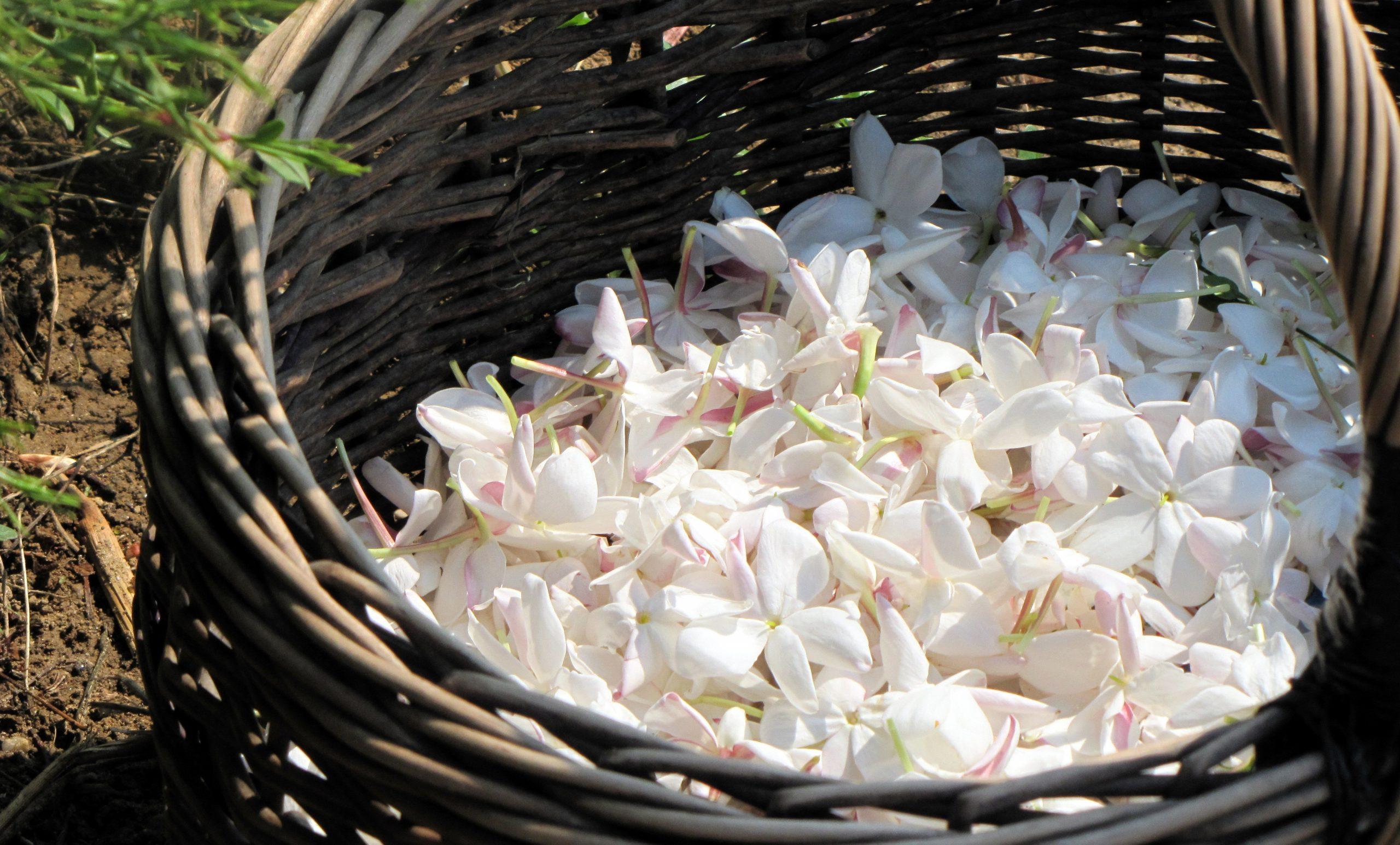 Jasmine Flowers Tea
