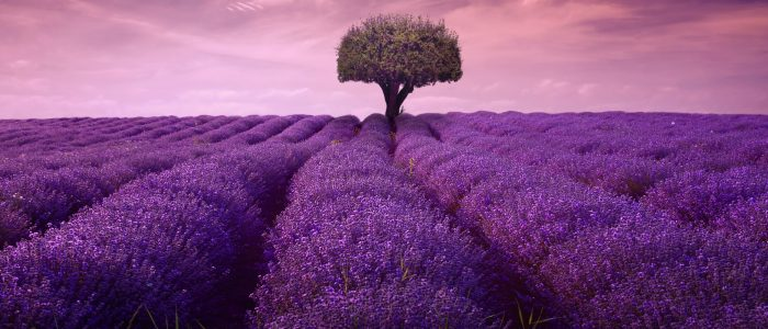 Lavender Tea Mayfair Tea