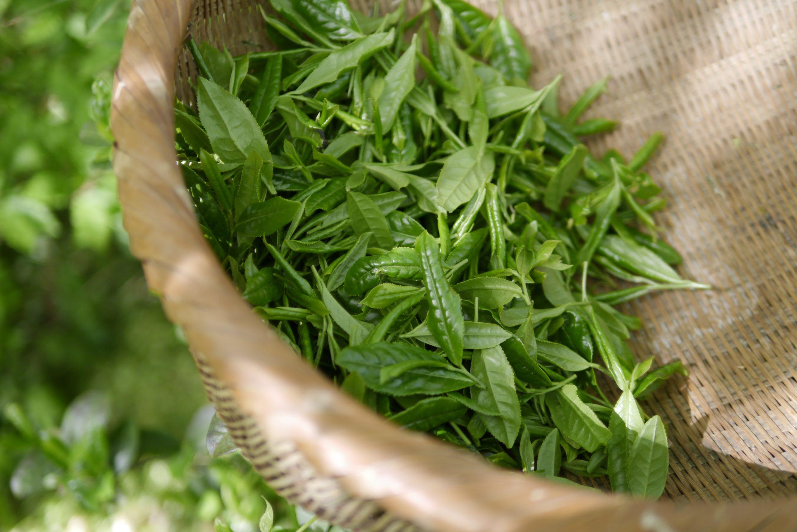 Mayfair Tea Darjeeling