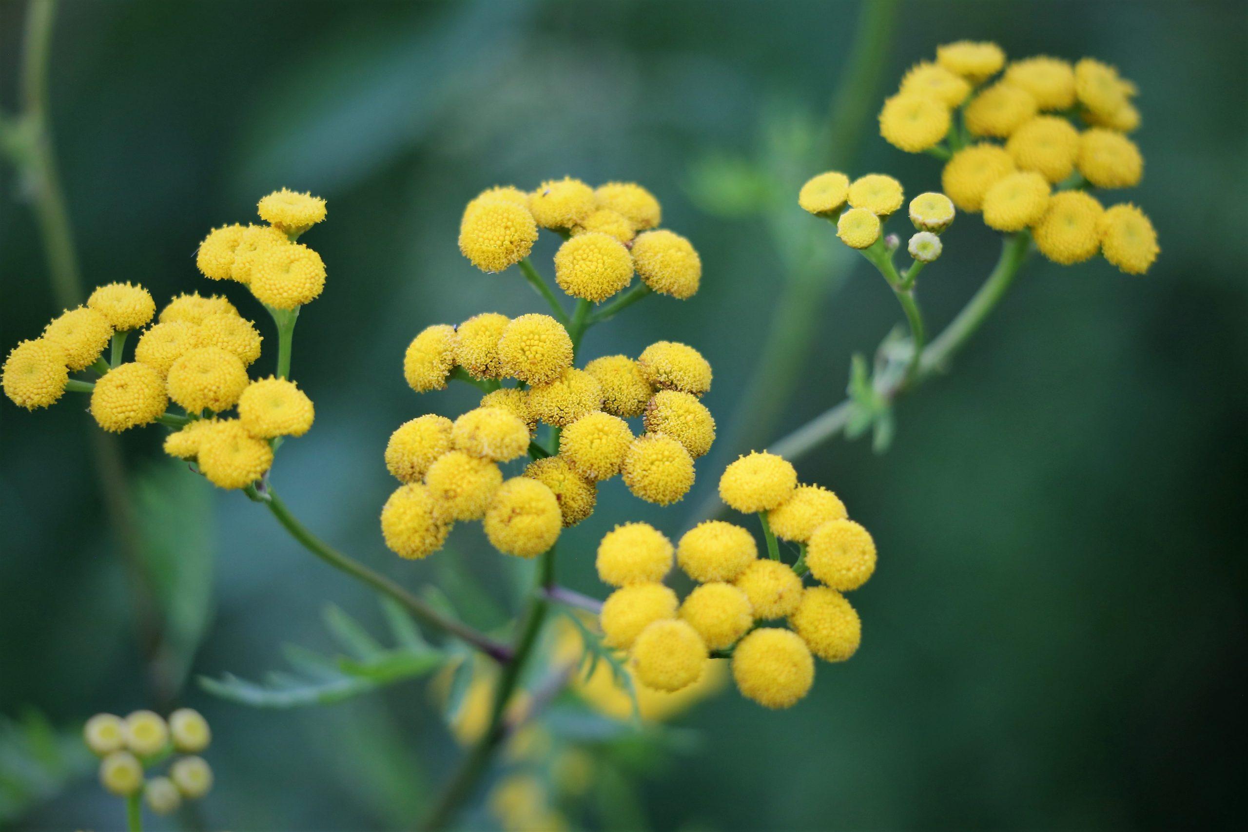 Immortelle Plant