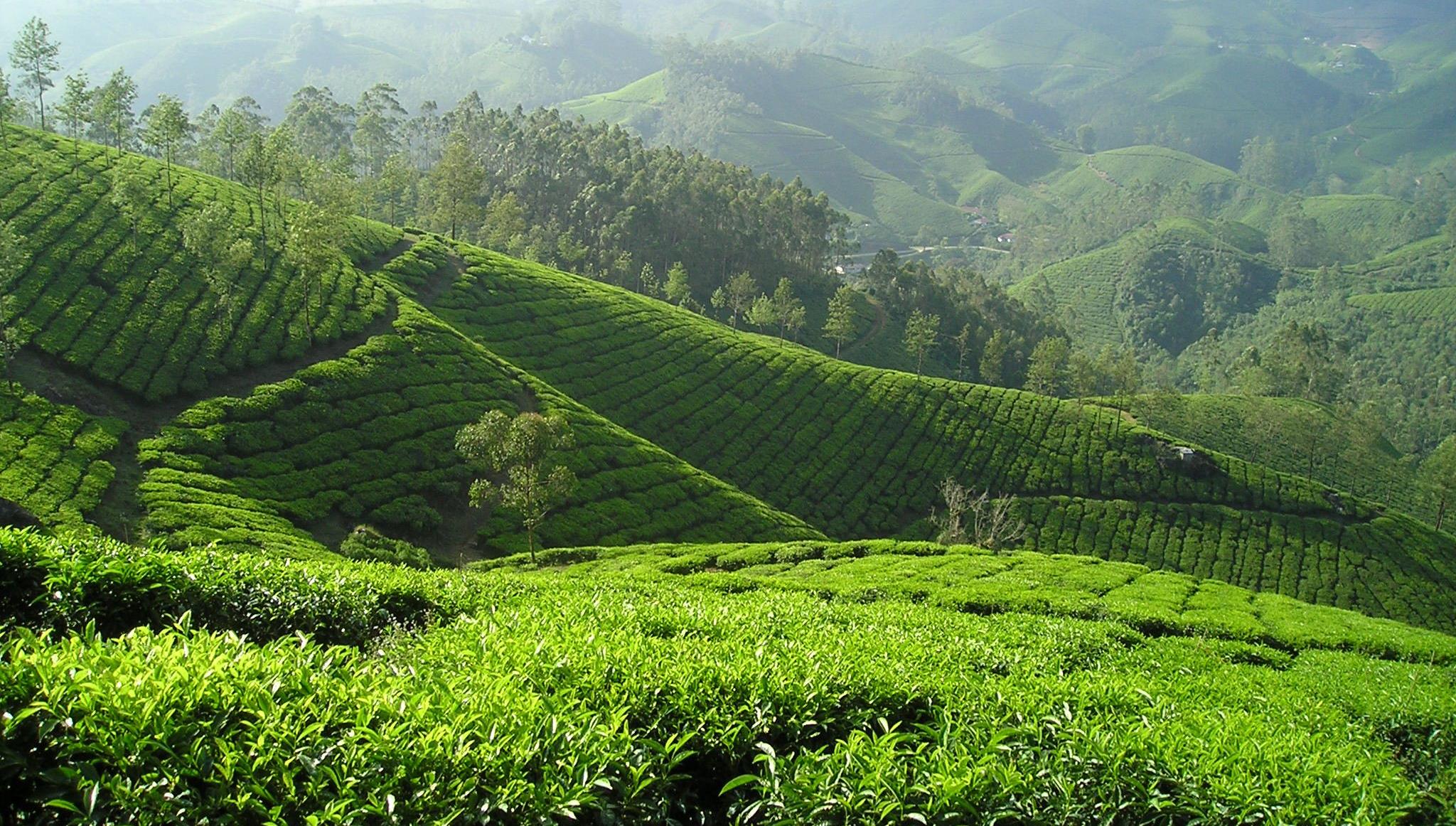 Black Tea Mayfair Tea